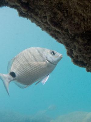 Kastenmaul-Meeräsche Geißbrasse